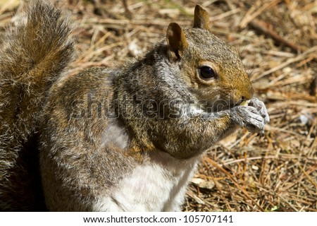 Close up of a gray squirrel (Sciurus carolinensis) eating and sitting on a bed of pine needles