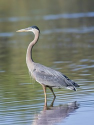 Close-up of a great blue heron wading in lake