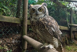 Close up of a great horned owl in an enclosure in the UK