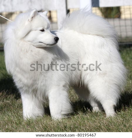 Great Pyrenees Puppies on Close Up Of A Great Pyrenees Dog  Stock Photo 80195467   Shutterstock