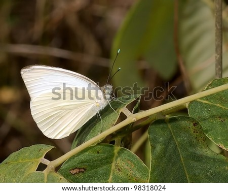 Close up of a Great Southern White Butterfly (Ascia Monuste)