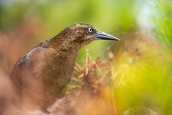 Close-up of a Great-tailed Grackle (female)