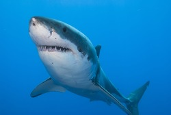 Close-up of a great white shark showing its teeth in clear blue water.