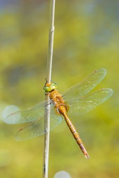 Close up of a green-eyed hawker dragonfly Aeshna isoceles, resting in reeds. This is one of only two brown hawkers found in Europe.