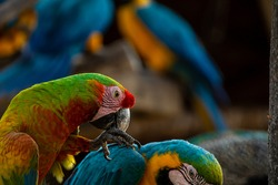 Close-up of a green macaw, blue macaws on the background