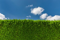Close up of a green thuja hedge with blue sky and white clouds