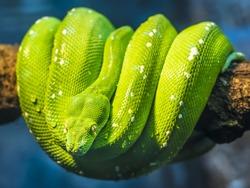 Close-Up of a Green Tree Python snake