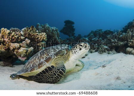 Close up of a Green Turtle on a coral reef in the Red Sea, Egypt