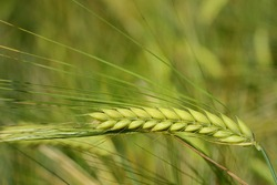 Close up of a green unripe ear of barley, in a barley field, in summer