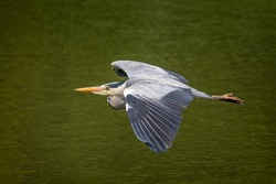 Close up of a Grey Heron gliding over the water surface