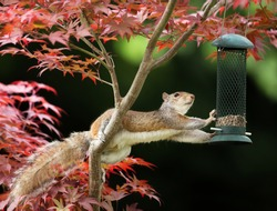 Close-up of a Grey Squirrel eating from a bird feeder on a colorful Japanese Maple tree