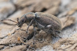 Close up of a grey striped weevil ( Curculionidae ) on wood
