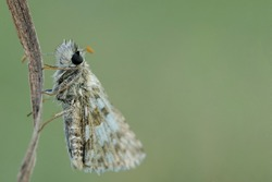 Close up of a grizzled skipper butterfly