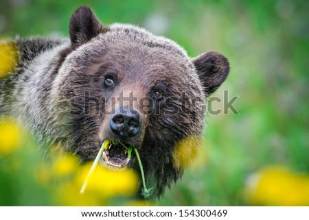 Close up of a Grizzly Bear feeding on Dandelions, Jasper National Park  Alberta Canada