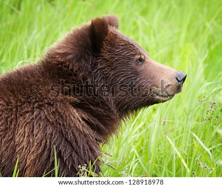 Close up of a grizzly bear in the long grass in northern British Columbia, Canada