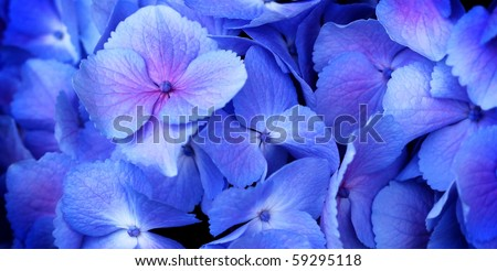 close up of a group blue and pink hydrangea
