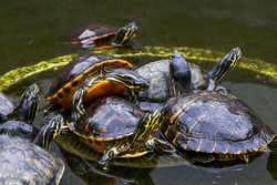 Close-up of a group of flame turtles in the pool