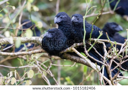 close up of a group of groove billed anis perched on a small branch in the rainforest of Costa Rica