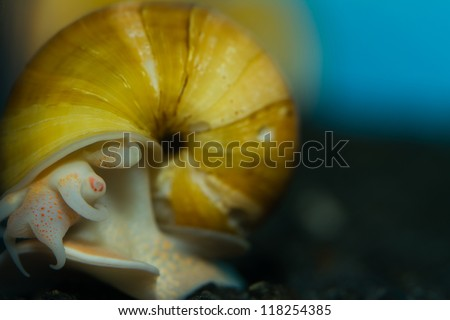 Close-up of a grown up Yellow Apple Snail