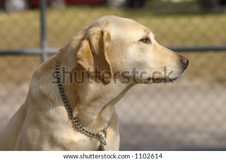 Close up of a guide dog