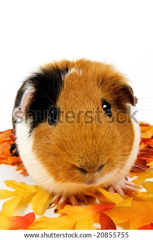 close up of a guinea pig surrounded by fall leafs