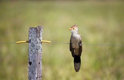 Close up of a guira cuckoo (Guira guira) perched on a fence, South Pantanal, Brazil.