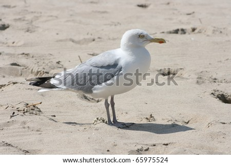 Close-up of a gull sitting on the sand,