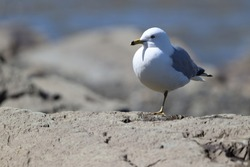 close-up of a gull standing on a rock with one leg