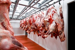 Close up of a half cow chunks fresh hung and arranged in a row in a large fridge in the fridge meat industry. Horizontal view.