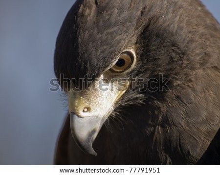 Close up of a Harris Hawk