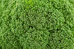 Close up of a head of fresh broccoli showing the healthy young green florets