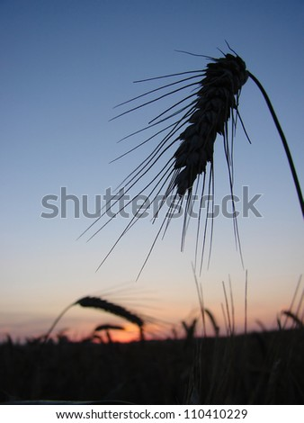 close-up of a head of wheat at beautiful sunset in the field