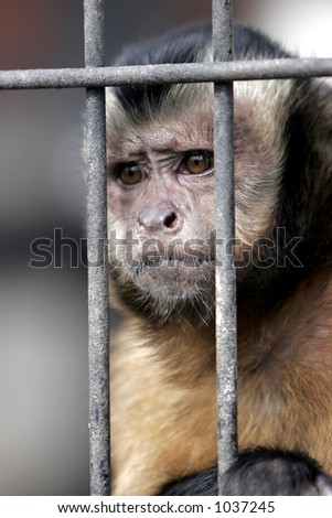 Close-up of a Hooded Capuchin Monkey contemplating life behind bars in a big city zoo, captive setting (shallow focus). - stock photo