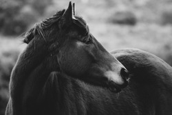 Close-up of a horse in the middle of nature in black and white