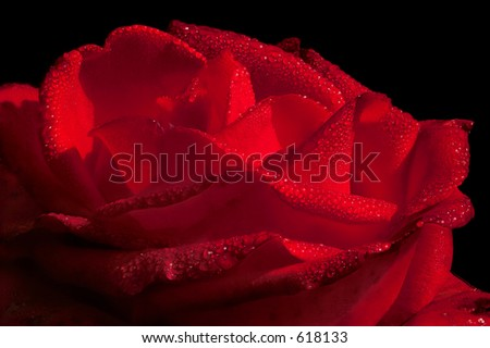 close-up of a hot red rose with water drops