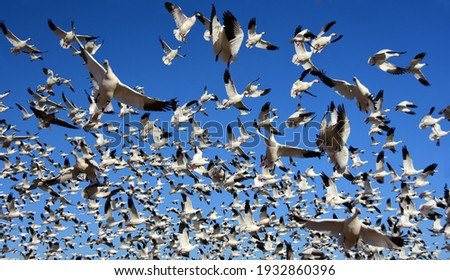 close up of a huge flock of white snow geese in flight on a sunny winter day at the bosque del apache national wildlife refuge near socorro, new mexico Foto stock ©