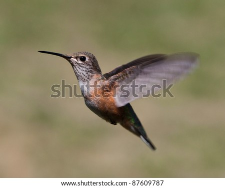 close up of a humming bird in mid flight with very bright and pretty colors