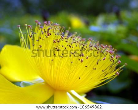 Close up of a Hypericum calcium flower aka Rose of Sharon