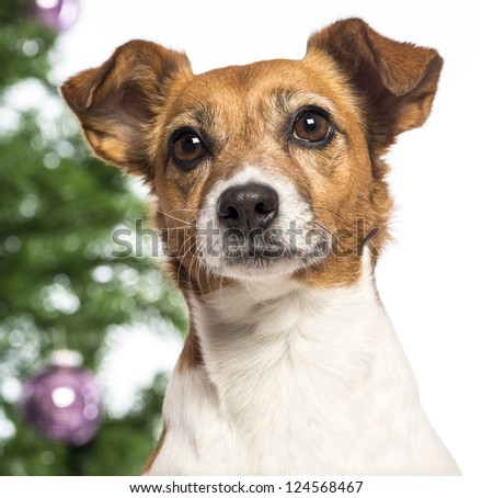 Close up of a Jack Russell Terrier in front of Christmas decorations against white background