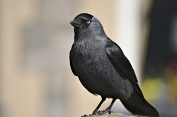 Close up of a Jackdaw perched on a wall taxidermy