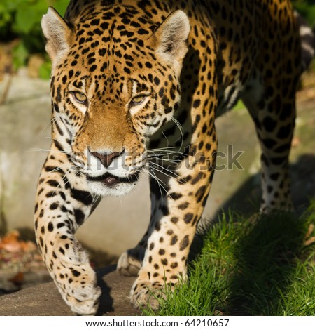 Close up of a Jaguar (Panthera onca)