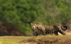 Close up of a Jaguar walking on a river bank, South Pantanal, Brazil.