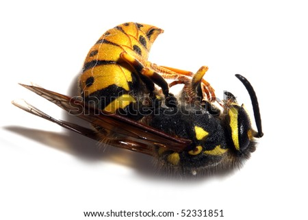 Close-up of a killed Yellow Jacket Wasp on white background. Macro shot with shallow dof.