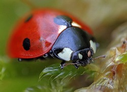 Close-up of a ladybug on green moss. Macro photograph. Green grass. Morning dew.
