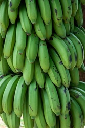 Close up of a large bunch of green plantains (cooking bananas) hanging down and filling the frame; commonly found and routinely used for both sweet and savoury dishes in the Caribbean; Vinales, Cuba
