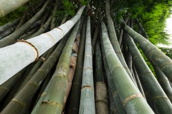 close up of a large clump of bamboo, green nature background