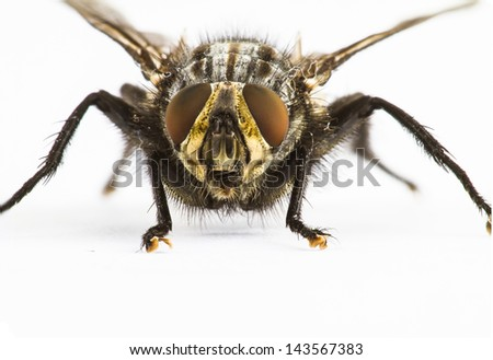 Close up of a large fly facing camera on plain background