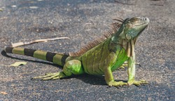 Close up of a large green iguana (Latin name Iguana iguana) defending its territory in the south Florida keys (Key West). Iguanas are not native to Florida and are considered an invasive species.