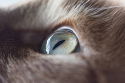 Close up of a left cat eye, cat looking up, animal eye, male animal, Cat's Eye, cat picture