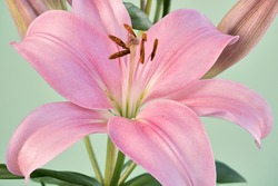 Close-up of a lily in pink tones on a background in greenish tones